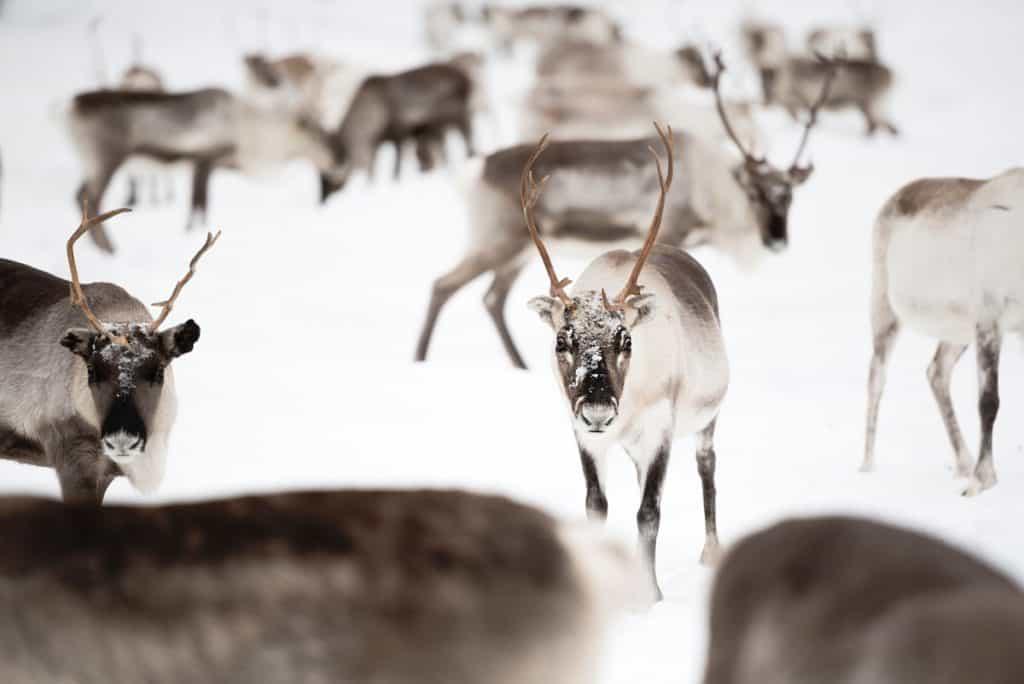Herd Of Reindeer - Lauren Bath | Pixinfocus