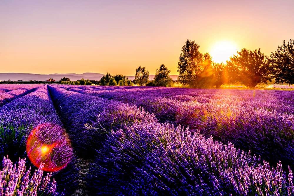 Lavender Fields, Provence France