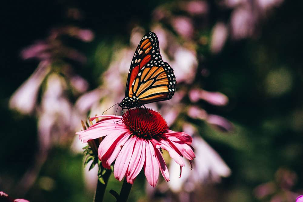 macro photography tips: butterfly on a flower