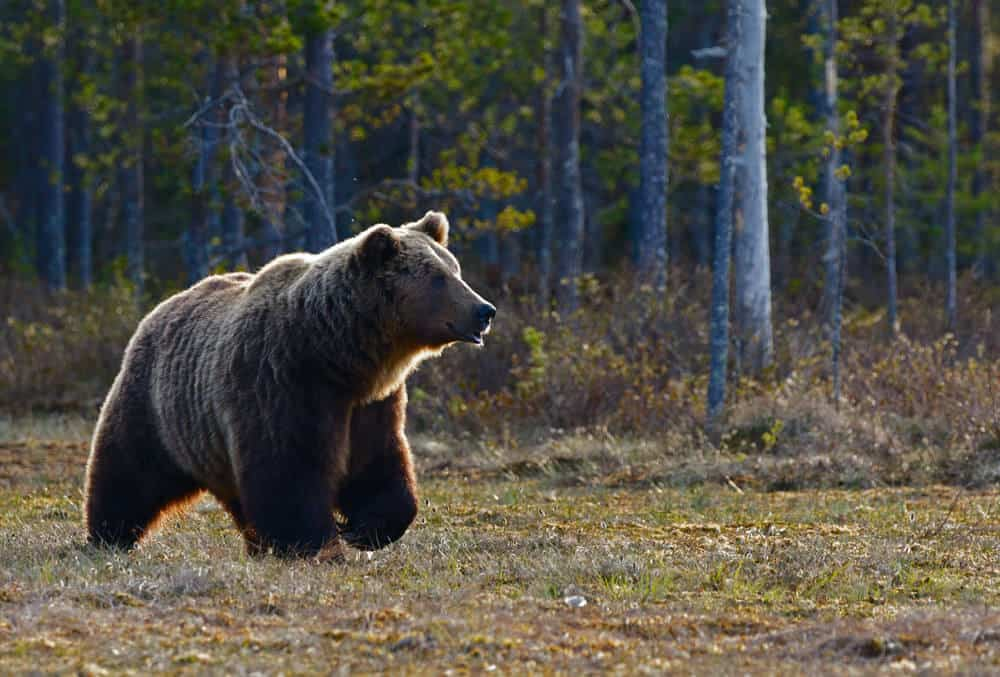 Zoom Lens used for photographing bear