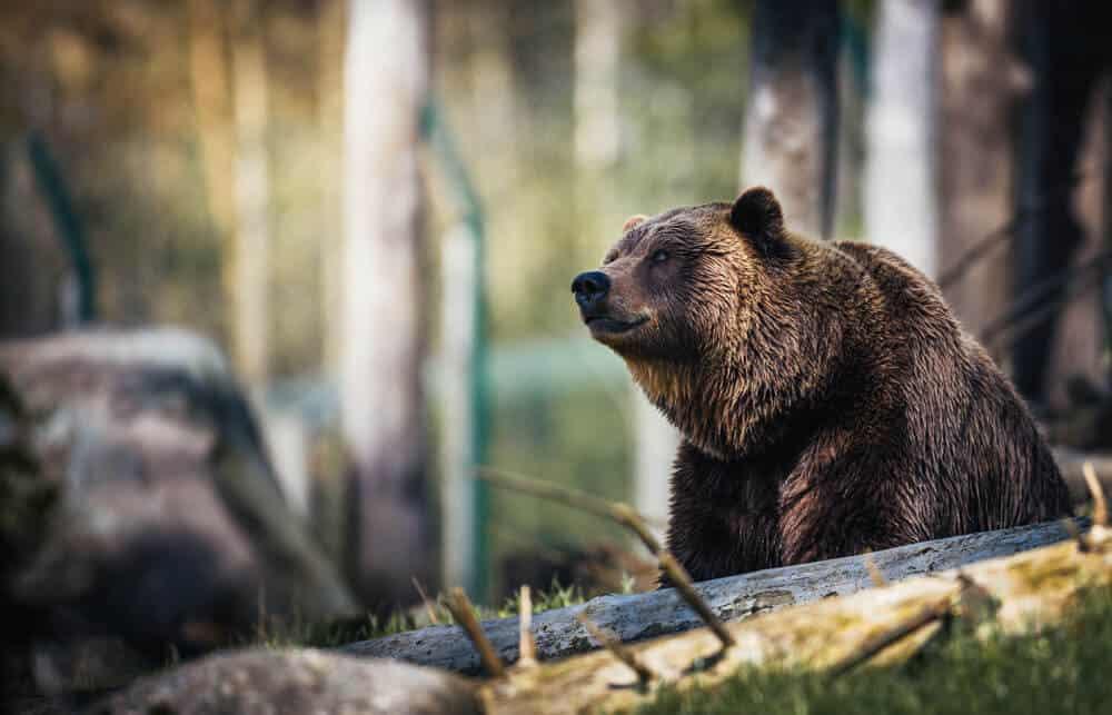 bear in wildlife